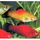 Platy Mixed Color