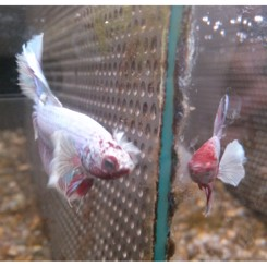 KampFisk Han  super delta big ears , betta splendens
