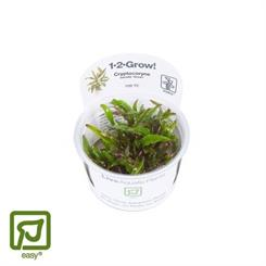Cryptocoryne wendtii Green 1-2-grow