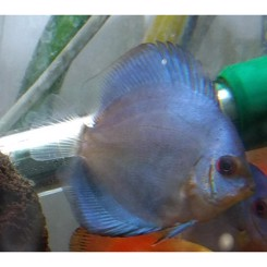Discus blue diamond 6-7cm