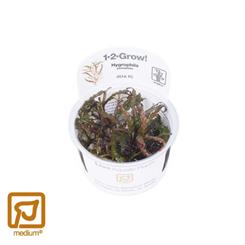 Hygrophila pinnatifida 1-2-grow