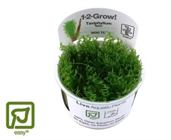 Taxiphyllum Spiky 1-2-grow - mos